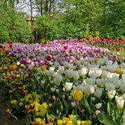 Messer Tulipano